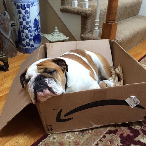 Bentley, David's English Bulldog